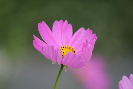 cosmos-flower-433424_1280