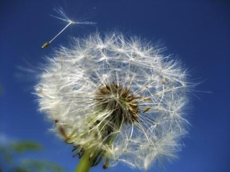 dandelion-53800_1280